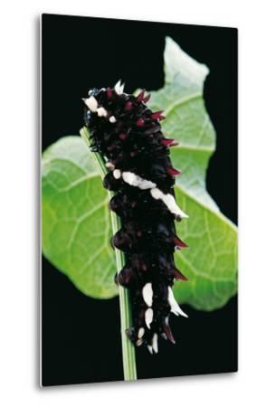 Parides Iphidamas (Iphidamas Cattleheart, Transandean Cattleheart) - Caterpillar-Paul Starosta-Metal Print