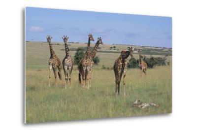 Giraffes Standing around an Injured Young Giraffe-DLILLC-Metal Print