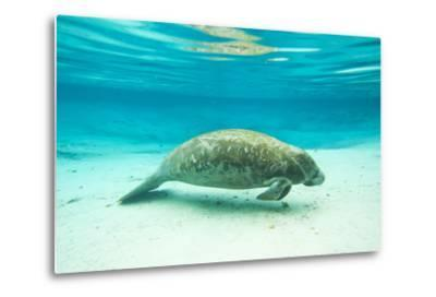 Portrait of a Florida Manatee in Clear Blue Water-Mike Theiss-Metal Print