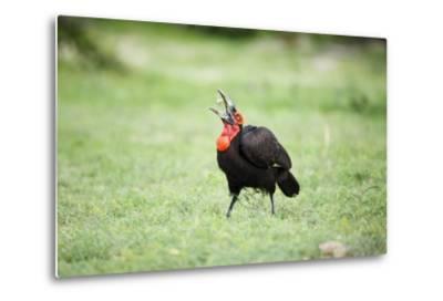 A Ground Hornbill Eats a Frog-Richard Du Toit-Metal Print