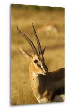 Thompson's Gazelle-Joe McDonald-Metal Print