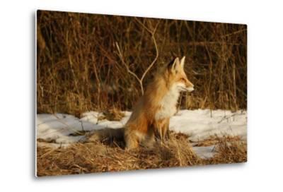 Red Fox-Joe McDonald-Metal Print