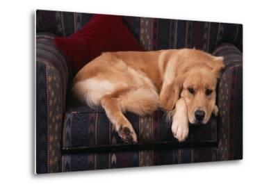 Golden Retriever Sitting in Armchair-DLILLC-Metal Print