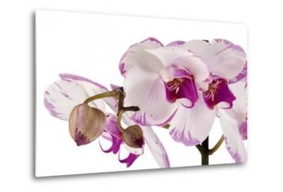 Phalaenopsis Shih Hua Smile2-Fabio Petroni-Metal Print