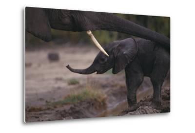 Mother Elephant Encouraging Baby-DLILLC-Metal Print