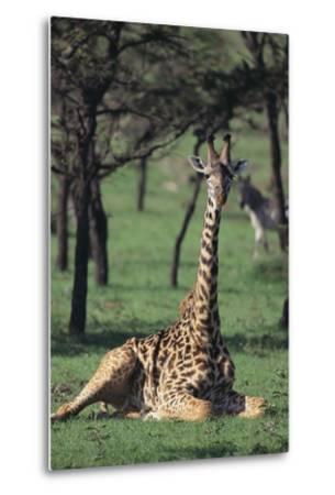 Giraffe Resting in the Grass-DLILLC-Metal Print