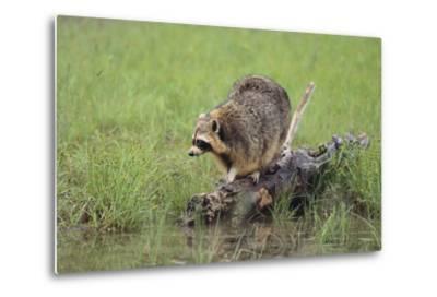 Raccoon-DLILLC-Metal Print
