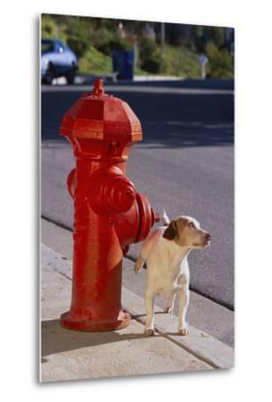 Jack Russell Terrier-DLILLC-Metal Print