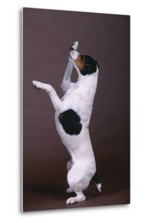 Jack Russell Terrier with Paws in Air-DLILLC-Metal Print