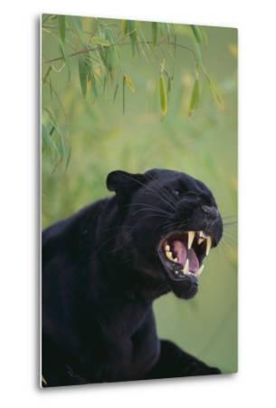 Black Leopard Snarling-DLILLC-Metal Print