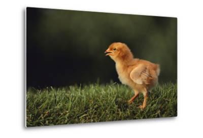 Chick-DLILLC-Metal Print
