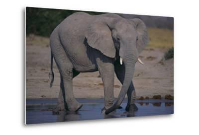 African Elephant at Watering Hole-DLILLC-Metal Print