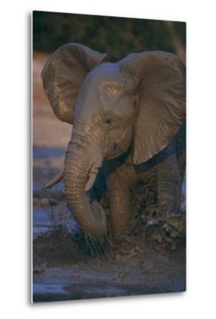 African Elephant Calf Bathing in Watering Hole-DLILLC-Metal Print