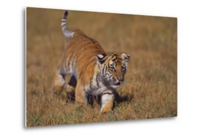 Bengal Tiger Cub Walking in Grass-DLILLC-Metal Print