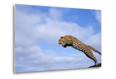Leopard Jumping-DLILLC-Metal Print