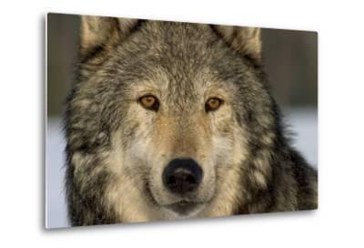 Portrait of Grey Wolf Captive Alaska Se Winter-Design Pics Inc-Metal Print