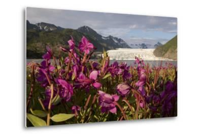 Dwarf Fireweed Growing on the Shoreline of Grewingk Glacier Lake with Glacier in Background-Design Pics Inc-Metal Print