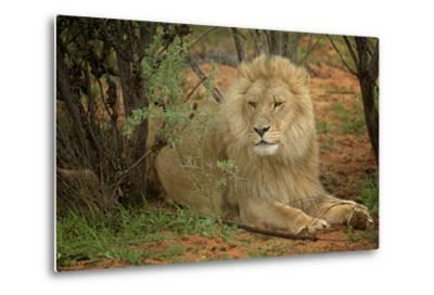 A Male Lion in the Cederberg Wilderness Area, South Africa-Keith Ladzinski-Metal Print