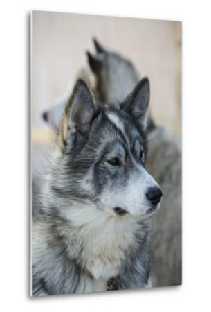 A Portrait of a Pair of Huskies-Michael Melford-Metal Print