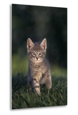 Tabby Kitten in Grass-DLILLC-Metal Print