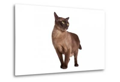 Burmese Cat-Fabio Petroni-Metal Print