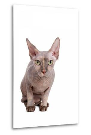 Sphinx Cat-Fabio Petroni-Metal Print
