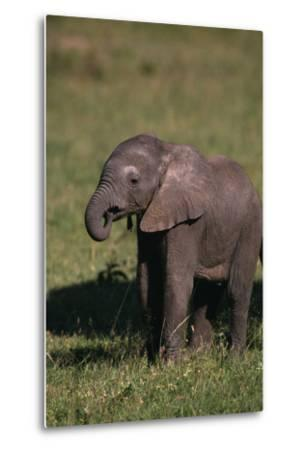 Baby Elephant Curling up its Trunk-DLILLC-Metal Print