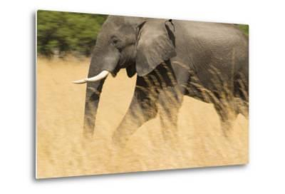 An African Elephant Walking in Tall Grass at the Selinda Reserve-Michael Melford-Metal Print