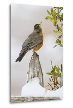 Wichita Falls, Texas. American Robin Searching for Berries-Larry Ditto-Metal Print