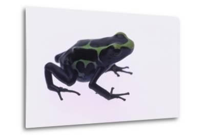 Green Poison Arrow Frog-DLILLC-Metal Print