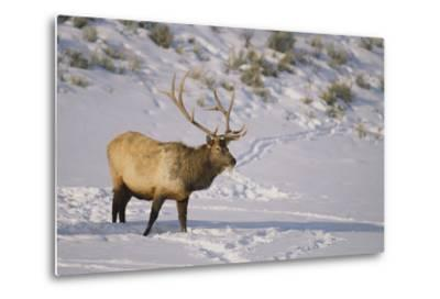 Elk-DLILLC-Metal Print