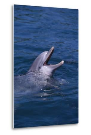 Bottlenosed Dolphin with Mouth Open-DLILLC-Metal Print