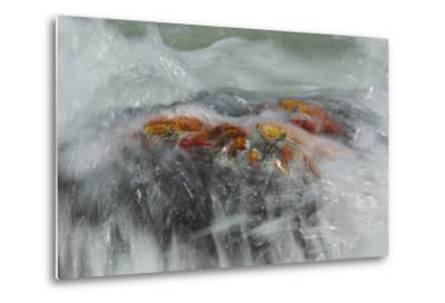 Surf Washing over Sally Lightfoot Crabs, Grapsus Grapsus, on a Rock-Tim Laman-Metal Print
