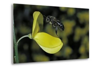 Apis Mellifera (Honey Bee) - Foraging and Approaching a Broom Flower-Paul Starosta-Metal Print