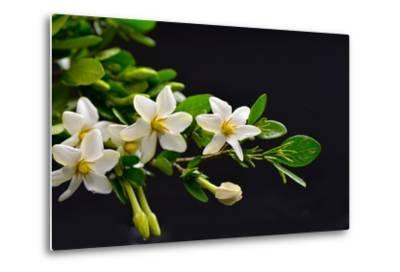 Gardenia Flower on Black-crystalfoto-Metal Print