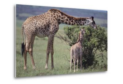 Mother and Baby Giraffe Grazing Together-DLILLC-Metal Print