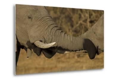 Close Up of Two Young African Elephants with their Trunks Wrapped Together-Beverly Joubert-Metal Print