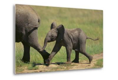 African Elephant Calf following Mother-DLILLC-Metal Print