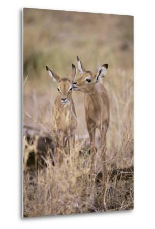 Young Impala Friends Nuzzling-DLILLC-Metal Print