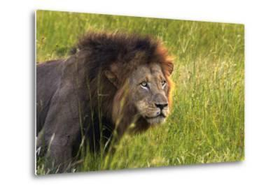 Male Lion, Kruger National Park, South Africa-David Wall-Metal Print