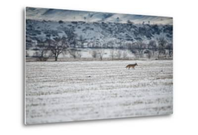 A Coyote, Canis Latrans, Near Boulder-Keith Ladzinski-Metal Print