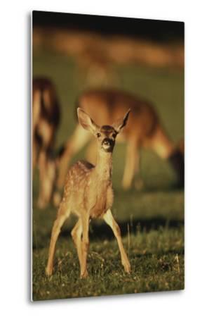 Baby Mule Deer-DLILLC-Metal Print