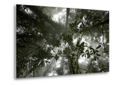 Mist in the Cloud Forest at Sombom Ridge in the Saruwaged Range-Tim Laman-Metal Print