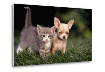 Kitten and Chihuahua Puppy-DLILLC-Metal Print