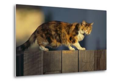Calico Cat Walking on Fence-DLILLC-Metal Print