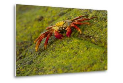 Portrait of a Sally Lightfoot Crab, Grapsus Grapsus, on an Algae Covered Rock-Tim Laman-Metal Print