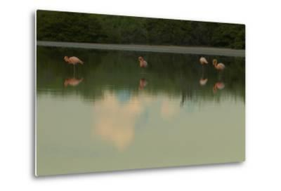 Greater Flamingos, Phoenicopteriformes Roseus, Resting and Grooming While Standing in Water-Tim Laman-Metal Print