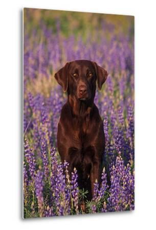 Portrait of a Pet Chocolate Labrador Retriever in a Field of Purple Wildflowers-John Cancalosi-Metal Print