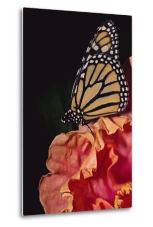Monarch Butterfly-DLILLC-Metal Print