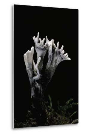 Xylaria Hypoxylon (Stag's Horn Fungus, Candlestick Fungus, Candlesnuff Fungus, Carbon Antlers)-Paul Starosta-Metal Print